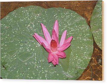 Water Lilly Wood Print by Dervent Wiltshire