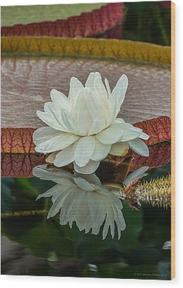 Lily Pond Wood Print by Phil Abrams