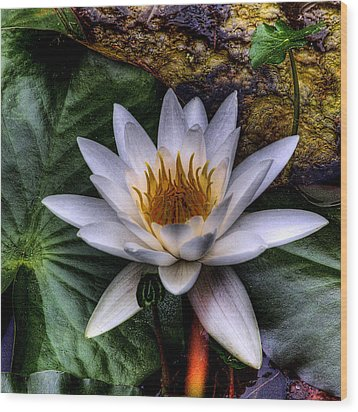 Water Lily Wood Print by David Patterson