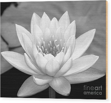 Water Lily In Black And White Wood Print by Sabrina L Ryan