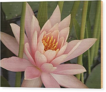 Water Lily  Wood Print by Sandy Molinaro