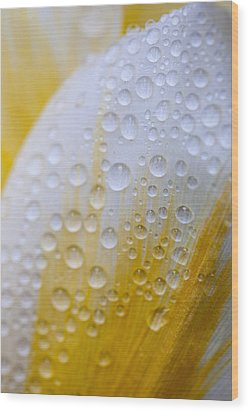 Waterdrops On Tulip Wood Print