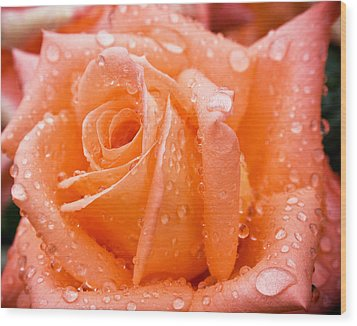 Watered Rose Wood Print