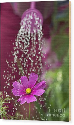 Watering The Cosmos Wood Print by Tim Gainey
