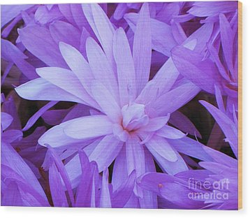 Waterlily Crocus Wood Print by Michele Penner