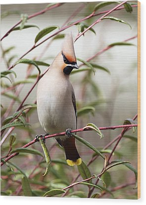 Waxwing Wood Print by Grant Glendinning