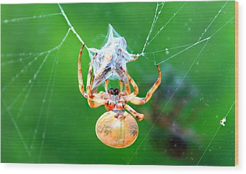 Weaving Orb Spider Wood Print by Candice Trimble