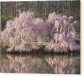 Weeping Cherry Trees Wood Print by Jack Nevitt