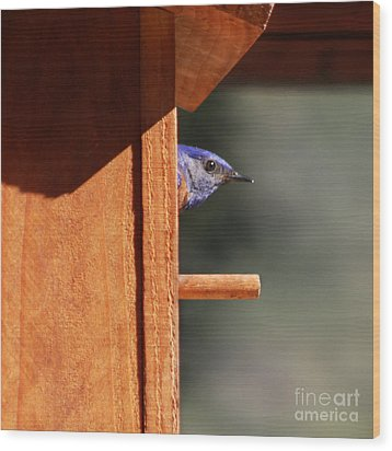 Wood Print featuring the photograph Western Bluebird At Nest by Bob and Jan Shriner