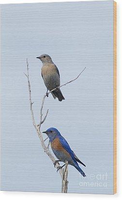 Western Bluebird Pair Wood Print by Mike  Dawson
