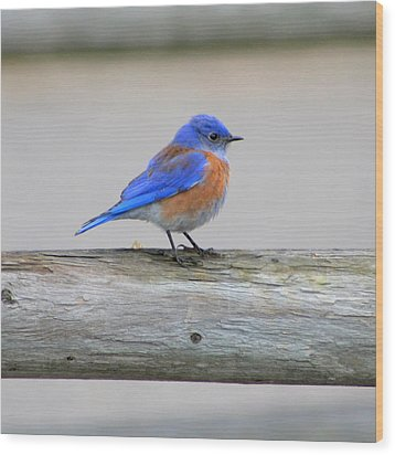 Wood Print featuring the photograph Western Bluebird Perching by Bob and Jan Shriner