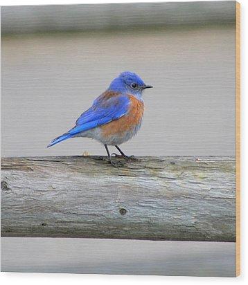 Western Bluebird Perching Wood Print by Bob and Jan Shriner