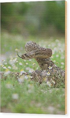 Western Diamondback Rattlesnake Wood Print by Larry Ditto