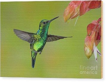 Western Emerald Hummingbird Wood Print by Anthony Mercieca