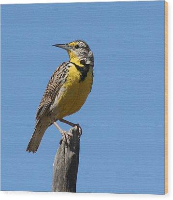 Western Meadowlark Perching Wood Print by Bob and Jan Shriner
