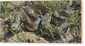 Western Plains Hognose Snake Wood Print by Karen Slagle