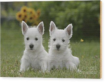 Westie Puppies Wood Print by Rolf Kopfle