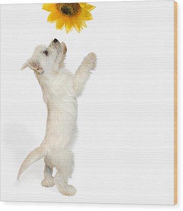 Westie Puppy And Sunflower Wood Print by Natalie Kinnear