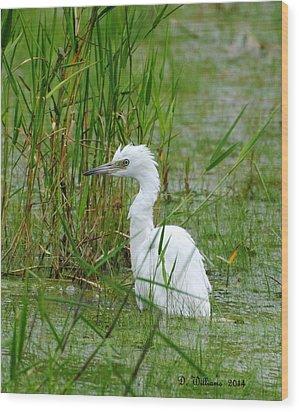 Wet Juvenile Little Blue Heron Wood Print