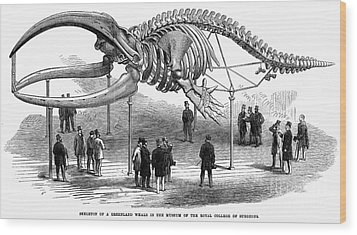 Whale Skeleton, 1866 Wood Print by Granger