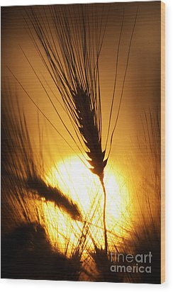 Wheat At Sunset Silhouette Wood Print by Tim Gainey
