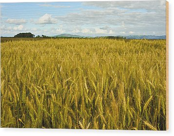 Wheat Field Wood Print by Crystal Hoeveler