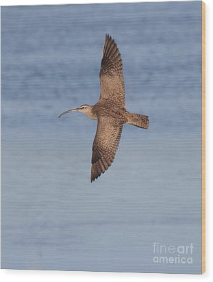 Whimbrel In Flight Wood Print by Ruth Jolly