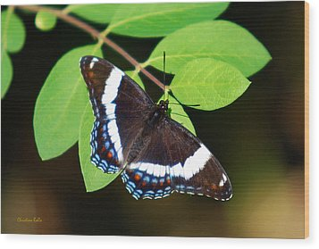 White Admiral Butterfly Wood Print by Christina Rollo