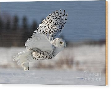 White Angel - Snowy Owl In Flight Wood Print by Mircea Costina Photography