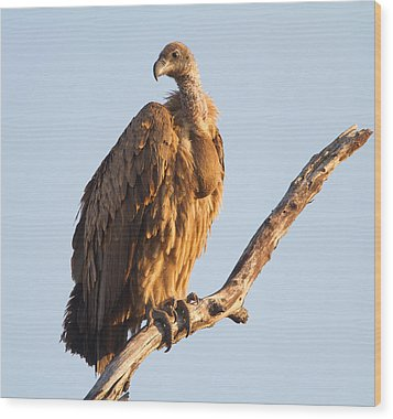 White Backed Vulture Wood Print by Craig Brown