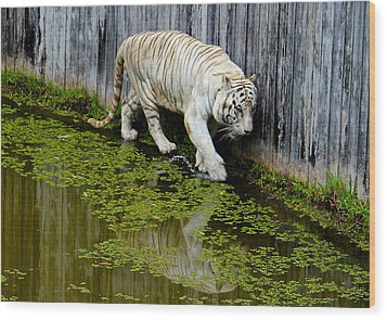 White Bengal Tiger Wood Print by Venetia Featherstone-Witty