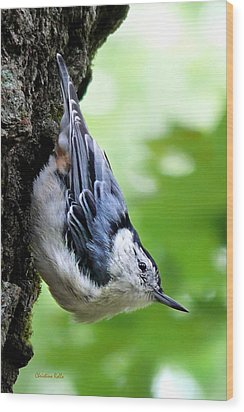 White Breasted Nuthatch Wood Print by Christina Rollo