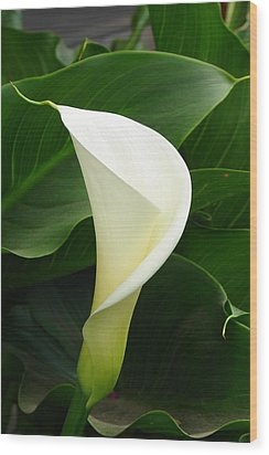 Wood Print featuring the photograph White Calla by Lew Davis