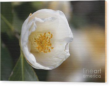 White Camellia  Wood Print by Joy Watson