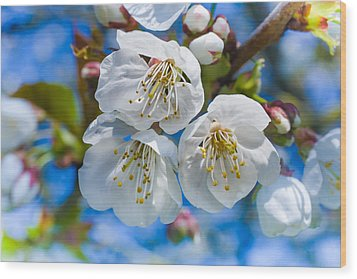 White Cherry Blossoms Blooming In The Springtime Wood Print