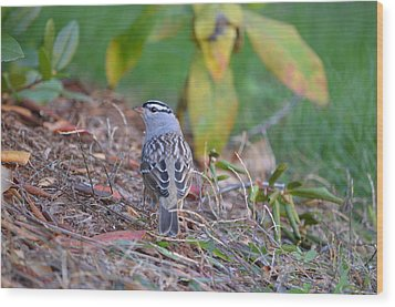 White-crowned Sparrow Wood Print by James Petersen