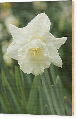 White Daffodil Flower Wood Print by Jennie Marie Schell