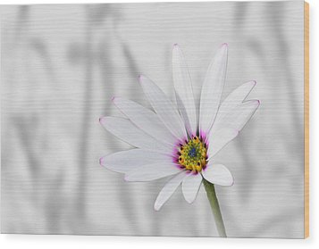 White Daisy Bush Wood Print