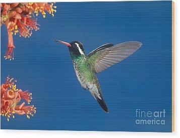 White-eared Hummingbird Wood Print by Anthony Mercieca