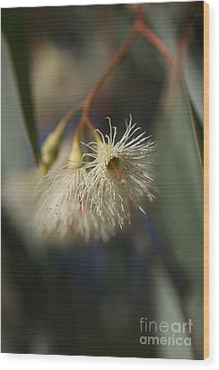 White Eucalyptus  Wood Print by Joy Watson