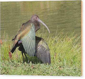Wood Print featuring the photograph White-faced Ibis 1 by Bob and Jan Shriner