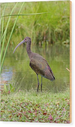 Wood Print featuring the photograph White-faced Ibis 2 by Bob and Jan Shriner