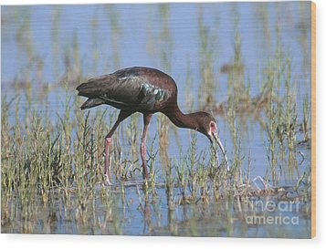 White-faced Ibis Wood Print by Anthony Mercieca