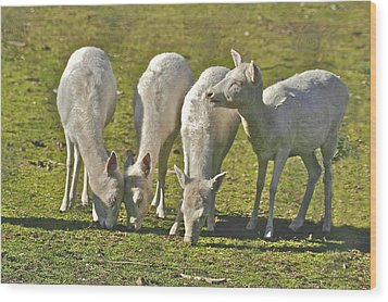 White Fallow Deer Mt Madonna County Park Wood Print