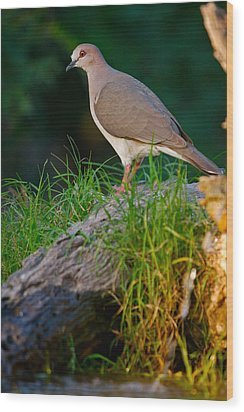 White-fronted Dove Wood Print