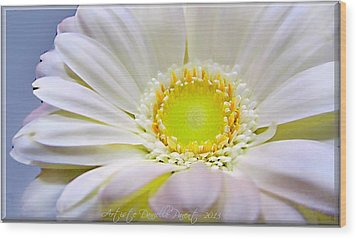 White Gerber Daisy Macro Wood Print by Danielle  Parent