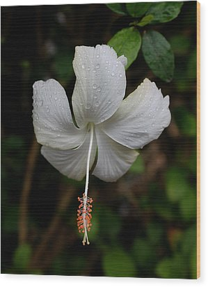 White Hibiscus Wood Print by Pamela Walton