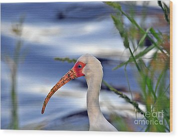 Intriguing Ibis Wood Print by Al Powell Photography USA