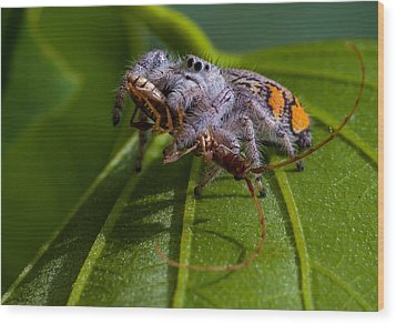 White Jumping Spider With Prey Wood Print by Craig Lapsley