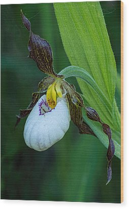 White Lady's Slipper Wood Print